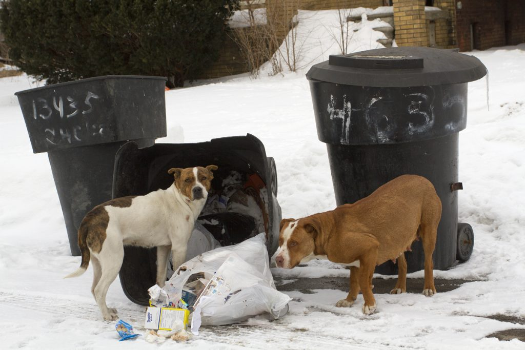 Thousands of stray, hungry dogs roam Detroit's streets. By Steve Neavling/MCM