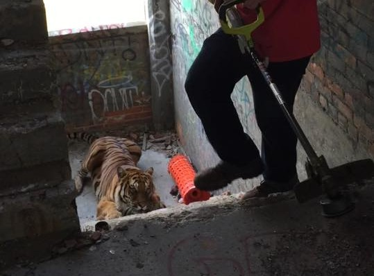 Confirmed: Large tiger escapes photo shoot inside vacant Packard Plant