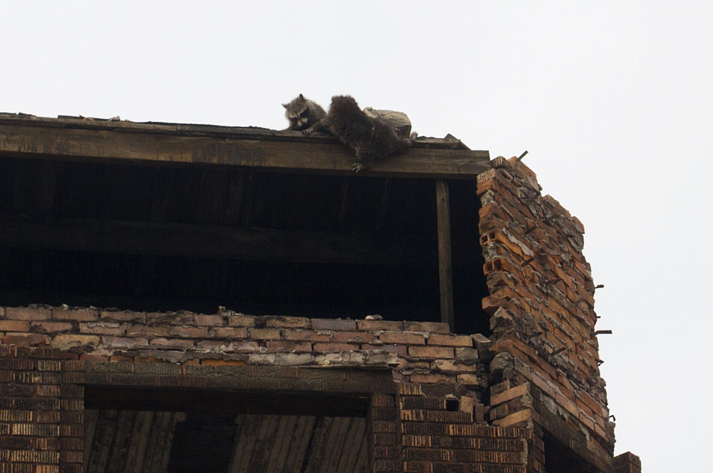 Two raccoons scramble after a third fell from the third floor.